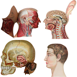 19th Century Foldout Model of the Human Head incl. Brain and Skull - Lithograph
