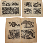 19th Century Set of three Prints of Predators incl. Wolf, Leopard, Bear - 1877 Zoology Steel Engravings