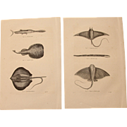 19th Century Set of two Prints of Stingray, Manta Ray and other Fish - 1860's Zoology Steel Engraving