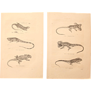 19th Century Set of two Prints of Lizards & other Reptiles - 1860's Zoology Steel Engraving