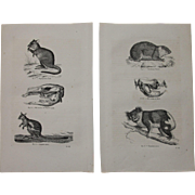 19th Century Set of two Prints of different Marsupials incl. Kangaroo & Koala - 1860's Zoology Steel Engraving Marsupials