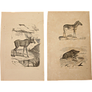 19th Century Set of two Prints of Boar, Zebra & Moose - 1860's Zoology Steel Engraving Marsupials