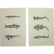 19th Century Set of two Prints of Sharks and other Fish - 1860's Zoology Steel Engraving