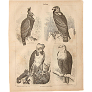 19th Century Print of Eagles - 1877 Zoology Steel Engraving