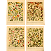 Art Nouveau Set of two Prints of Flowers and Plants - 1900's Polychrome Botanical Lithograph