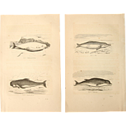 19th Century Set of two Prints of Dolphins and Whales - 1860's Zoology Steel Engraving