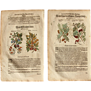16th Century Renaissance Print of Plum, Dogwood & Service Tree - 1590's Botanical Woodcut