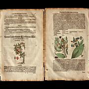 16th Century Renaissance Print of Cornus & Hackberries- 1590's Botanical Woodcut