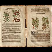 16th Century Renaissance Set of two Prints of Peach, Armenian Plum, Apricot & Medlar - 1590's Botanical Woodcut
