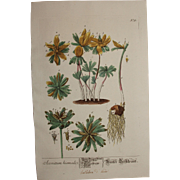 18th Century Floral Copper Engraving of Wolf's bane out of the Herbarium of ELIZABETH BLACKWELL HANDCOLORED
