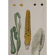 18th Century Floral Copper Engraving of Corn out of the Herbarium of ELIZABETH BLACKWELL HANDCOLORED