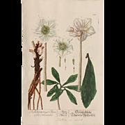 18th Century Floral Copper Engraving of Christmas Rose / Black Hellebore - Herbarium of ELIZABETH BLACKWELL HAND Painted Christmas rose