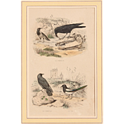 1830's Hand Painted Steel Engraving of a Raven, Jackdaw & Magpie by Edouard Traviès