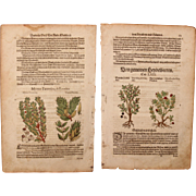 1570s original two handcolored floral woodcuts of Bilberry / European Blueberry & Myrtle (Peter Andr. Matthiolis)