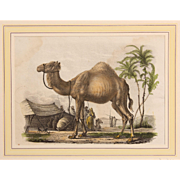 1830's Hand Painted Steel Engraving of a Dromedary
