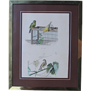 1830's Hand Painted Steel Engraving of Canary birds by Edouard Traviès