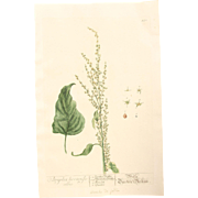18th Century Floral Copper Engraving of Garden Orache or Mountain Spinach out of the Herbarium of ELIZABETH BLACKWELL HANDCOLORED