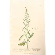 18th Century Floral Copper Engraving of Atriplex Silvestris Chenopodii Species out of the Herbarium of ELIZABETH BLACKWELL HANDCOLORED  atriplex silvestris chenopodii species