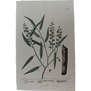18th Century Floral Copper Engraving of Croton eluteria / Cascarilla out of the Herbarium of ELIZABETH BLACKWELL HANDCOLORED