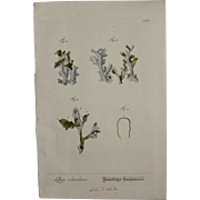 18th Century Floral Copper Engraving of Iceland moss out of the Herbarium of ELIZABETH BLACKWELL HANDCOLORED