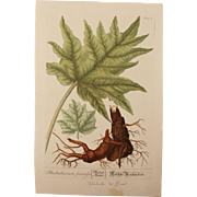 18th Century Floral Copper Engraving of pieplant or rhubarb out of the Herbarium of ELIZABETH BLACKWELL HANDCOLORED