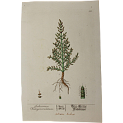 18th Century Floral Copper Engraving of Salicornia out of the Herbarium of ELIZABETH BLACKWELL HANDCOLORED