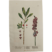 18th Century Floral Copper Engraving of Thymelaea laureola out of the Herbarium of ELIZABETH BLACKWELL HANDCOLORED