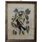 Rare 18th Century Copper Engraving of The Chatterer ( Cedar Waxwing with Spicebush ) -  Mark Catesby