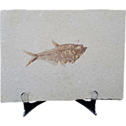 Striking Objet D'art Fossil Fish Specimen
