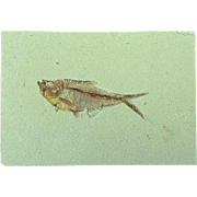Beautiful Eocene-age Fossil Fish