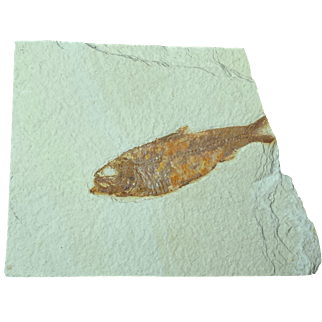 50 Million-Year-Old Fossil Fish Plate from wyoming