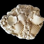 Striking Pliocene Fossil Plate of Pecten Shells