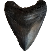 Huge Fossil Megalodon Shark Tooth From Florida