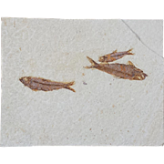 Beautiful Fossil Fish Specimen from Wyoming
