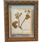 Framed Antique Dried Botanical