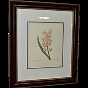 """Framed Book Plate- Redouté's """"Jacinthe d'orient"""""""