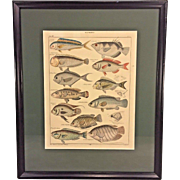 Antique Zoology Print of Fish Species Glattkopfe Early 20th Century C Mayer Gest Lorenz Oken's Allgemeine Naturgeschichte VI Zoologie