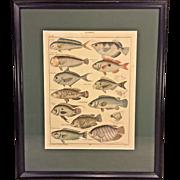 Antique Zoology Print of Fish Species Glattkopfe Early 20th Century C Mayer Gest Lorenz Oken's Allgemeine Naturgeschichte VI Zoologie