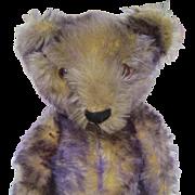 German rare purple tipped teddy bear