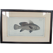 C18th Hand Tinted Fish Engraving Hennig, J. F. (Johann Friedrich), 1778, engraver