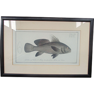 C18th Hand Tinted Fish Engraving Hennig, J. F. (Johann Friedrich), 1778, engraver