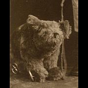 Antique TOY TEDDY BEAR on Wheels Walked by Boy CDV Photo
