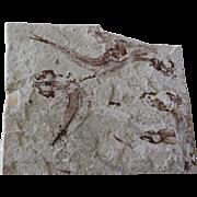 Scombroclupea Fossil - 98 Million Years - Hakel (Byblos) - Lebanon