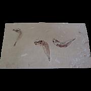 Scombroclupea Fossil - 98 Million Years - Double Face - Hakel (Byblos) - Lebanon