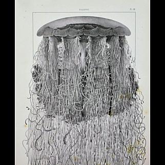 Cyanea Arctica Jellyfish Antique 1860 Print Large Sea Life  Art Image