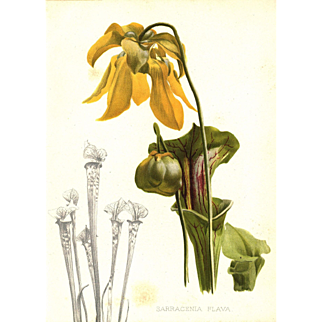 Sarracenia Flava 1905 Botanical Flower Print by Henry George Moon - Yellow Pitcher Plant