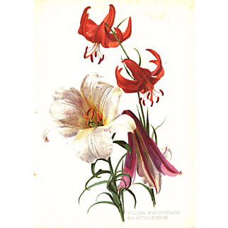 Royal Lily 1905 Botanical Flower Print by Henry George Moon