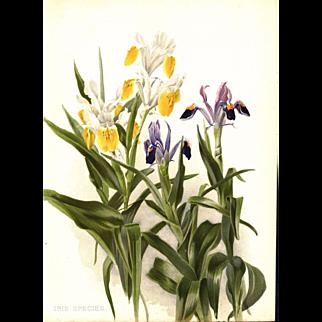 Iris Species 1905 Botanical Flower Print by Henry George Moon