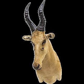 Hartebeest Antelope Taxidermy Mount