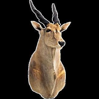 Eland Antelope Taxidermy Shoulder Mount